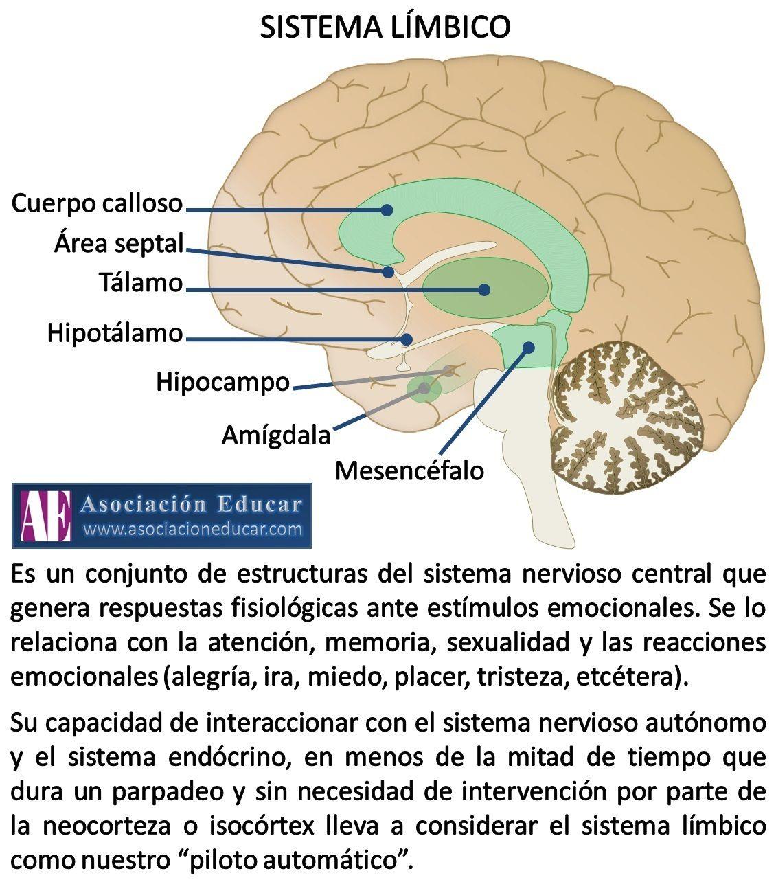 Infografía Neurociencias: Sistema límbico. | Asociación Educar ...