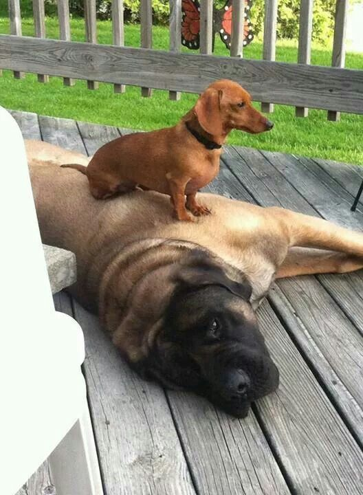 Size Doesn T Matter Dachshund Dog Weenie Dogs Cute Dogs