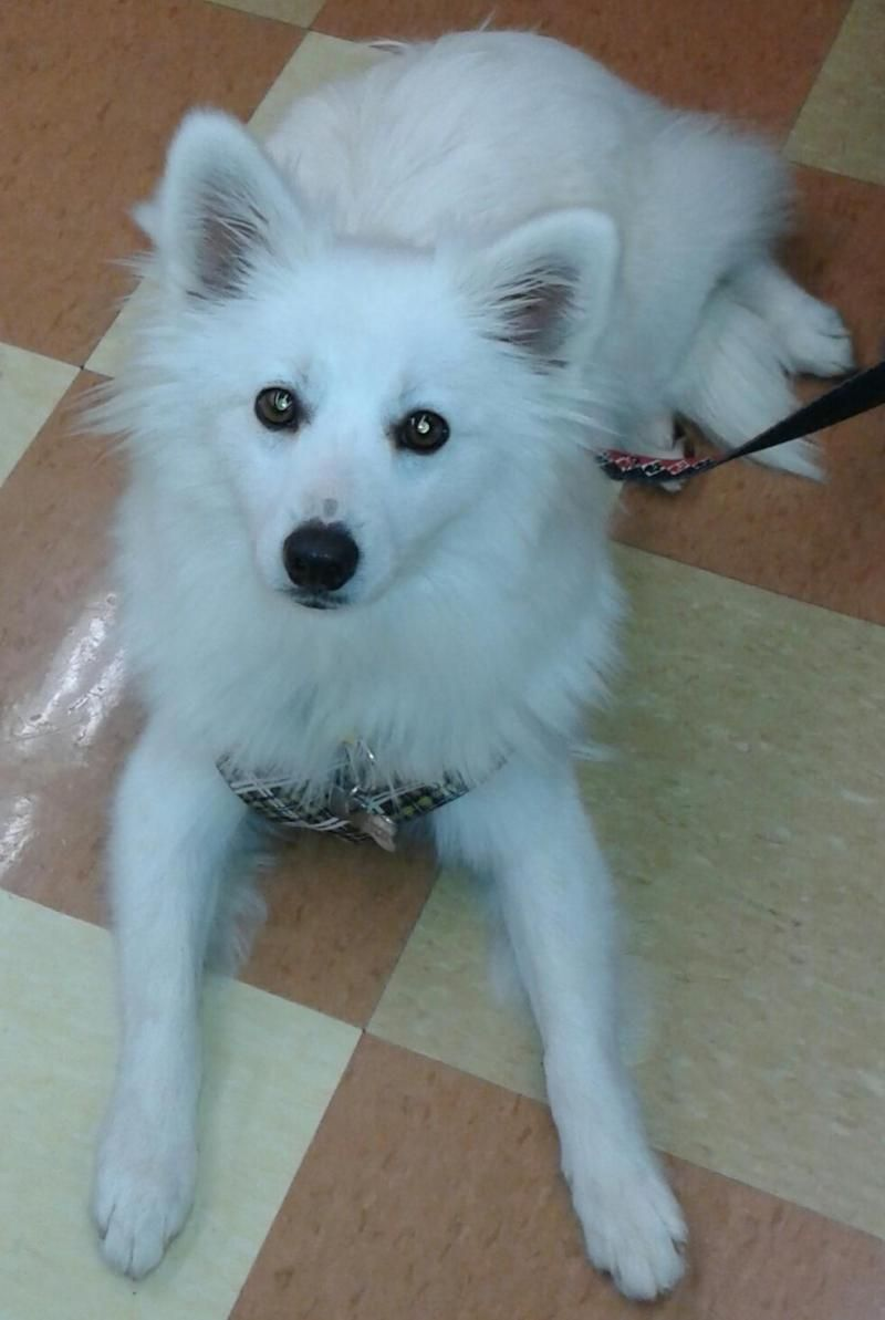 Adopt SQUEAK ADOPTED! on American eskimo dog, Pets