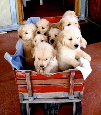 Red Wagon Full Of Gold Kittens And Puppies Dog Friends Cute