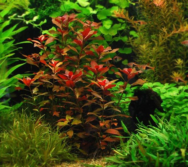 ludwigia repens rubin red rybki pinterest aquariums aquatic plants and aquascaping. Black Bedroom Furniture Sets. Home Design Ideas