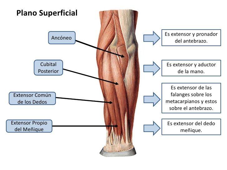Bonito Anatomía Del Brazo Bandera - Anatomía de Las Imágenesdel ...