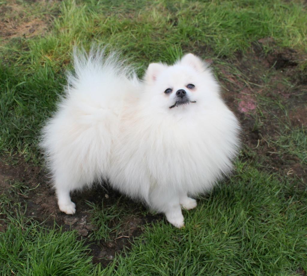 Male Vs Female Cute Pomeranian Pom Dog Animals Beautiful