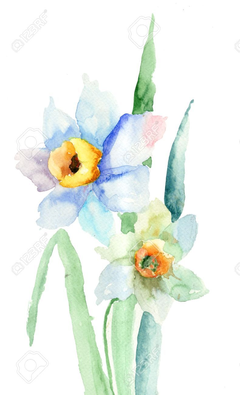 Narcissus flower. Watercolor illustration Watercolor