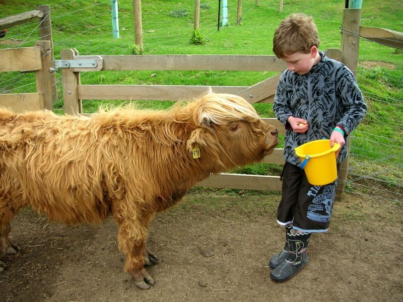Miniature highland cattle | Dun Eden Farm Park - Rusty and ...