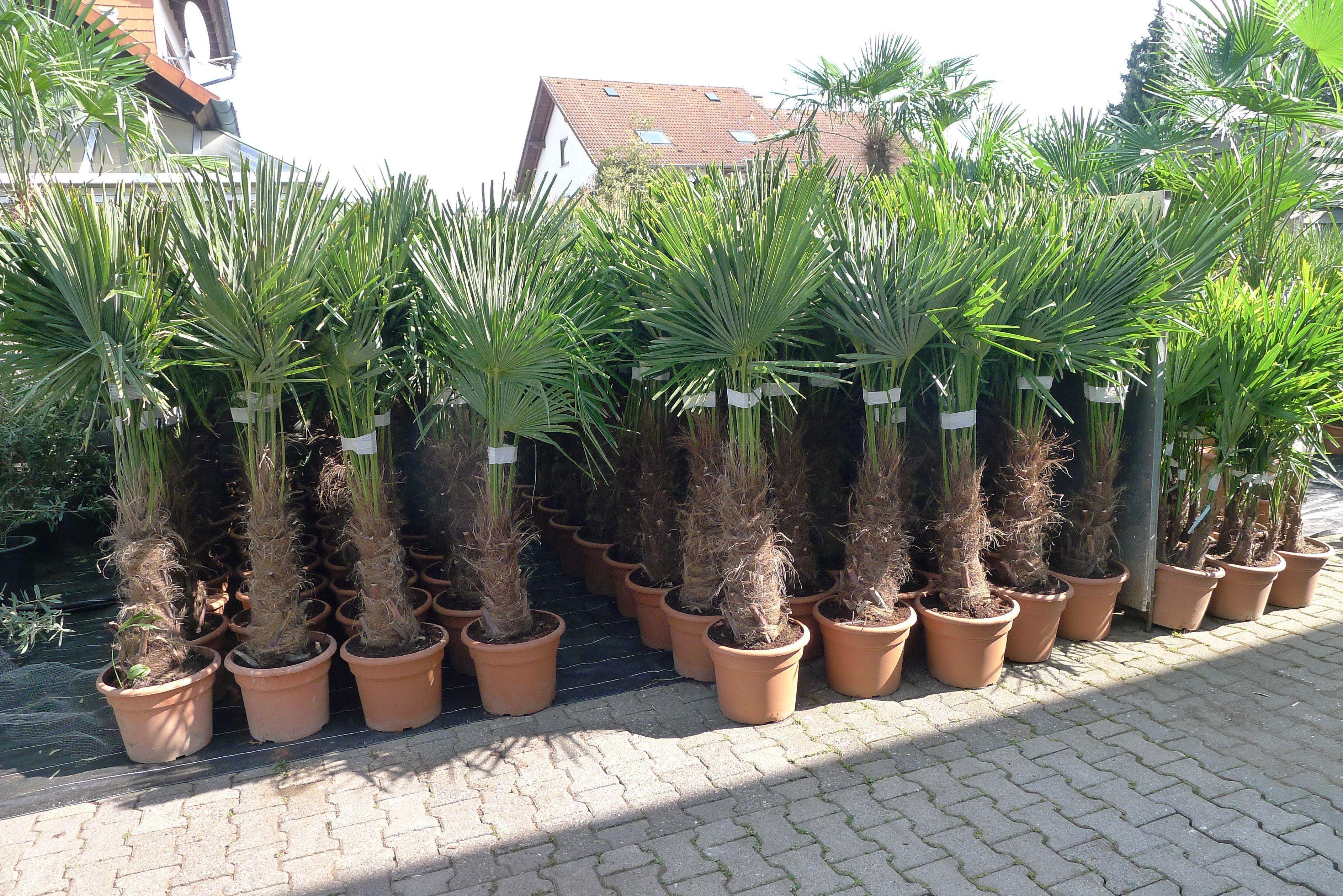 Winterharte Palmen Fur Den Garten Kaufen Das Ubernimmt Instagram Von Palmenlager De Pflanzenversand Amp Lage Winterharte Palmen Palmen Kaufen Palmen Garten