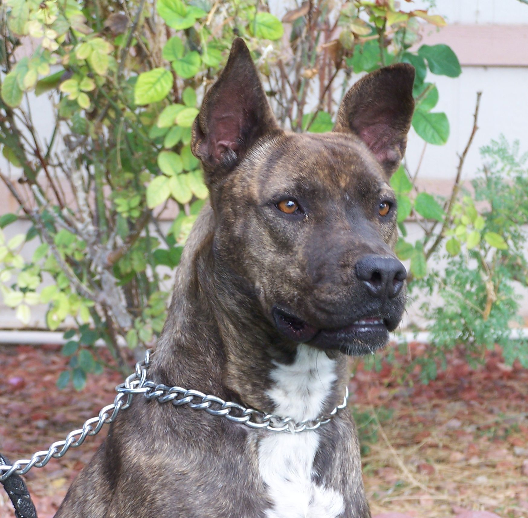 Pitbull Chihuahua Mix Full Grown | animals | dogs 1 ...  Pitbull Chihuah...