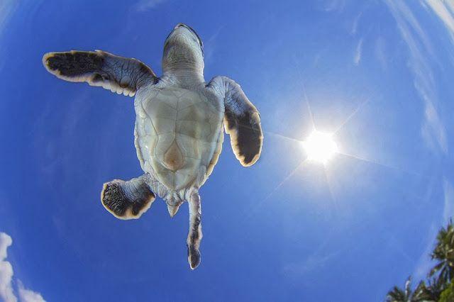 Una tortuga verde nadando en el cielo Durante un reportaje sobre tortugas verdes (Chelonia Mydas) el fotógrafo Vincent Truchet estuvo busca...