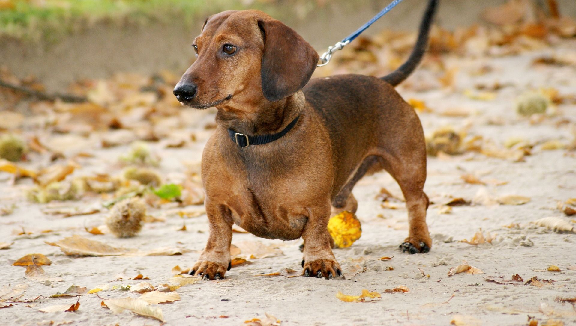 6 Dangerous Foods For Dog That Should Be Avoided Dachshunds