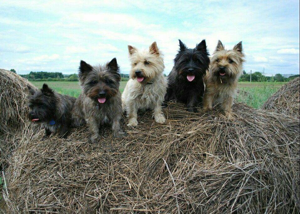 Cairn Terrier Brigade Scotland Cairn Terrier Puppies Cairn
