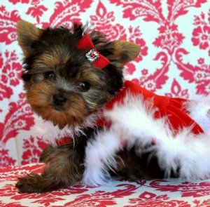Picture Perfect Teacup Yorkie Princessakc Registeredamazing Coat Beautiful Face Sold Moving To Califo Teacup Puppies Cute Animals Yorkshire Terrier Puppies