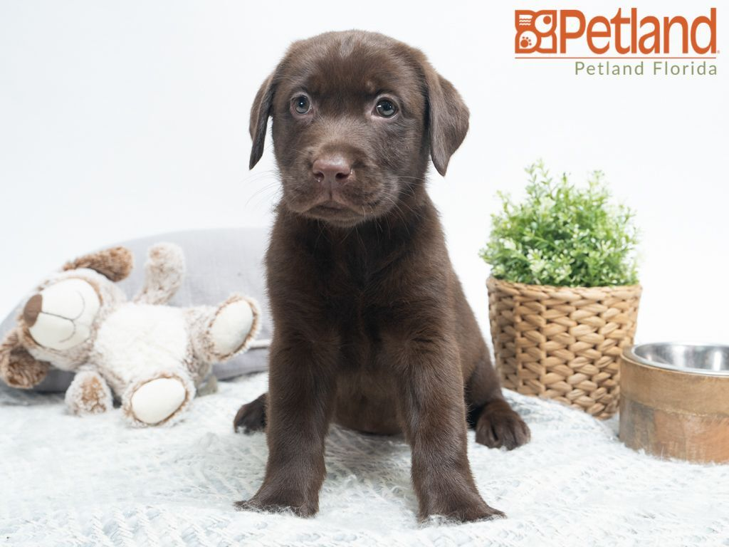 Petland Florida Has Labrador Retriever Puppies For Sale Check Out All Our Available Puppies La Puppy Friends Labrador Retriever Labrador Retriever Puppies