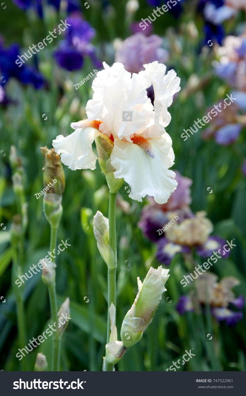 Beautiful White Iris Blooms In May Pinterest White Iris