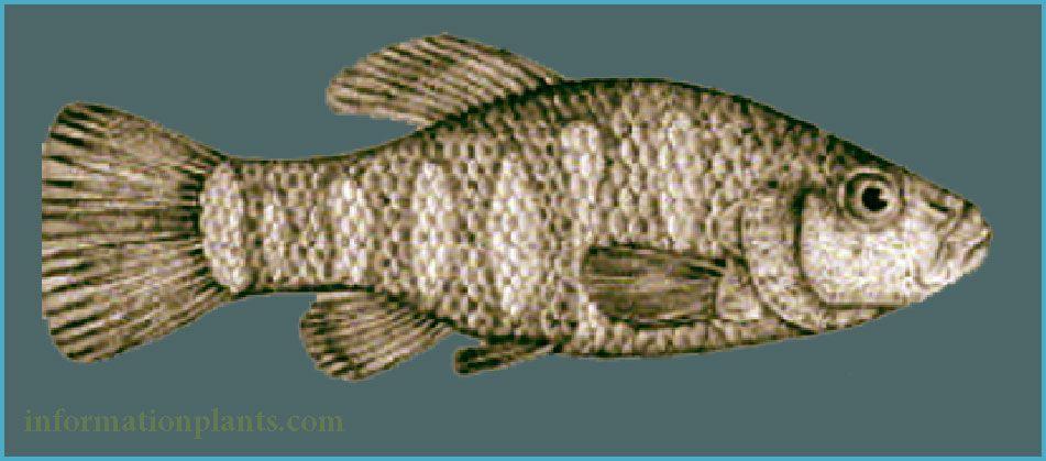 بطحيش المايا Cyprinodon Maya قسم انواع الاسماك انواع الاسماك انواع الاسماك مع الصور معلوماتية نبات حيوان اسماك فوائد Fish Pet Aquarium Fish Animals