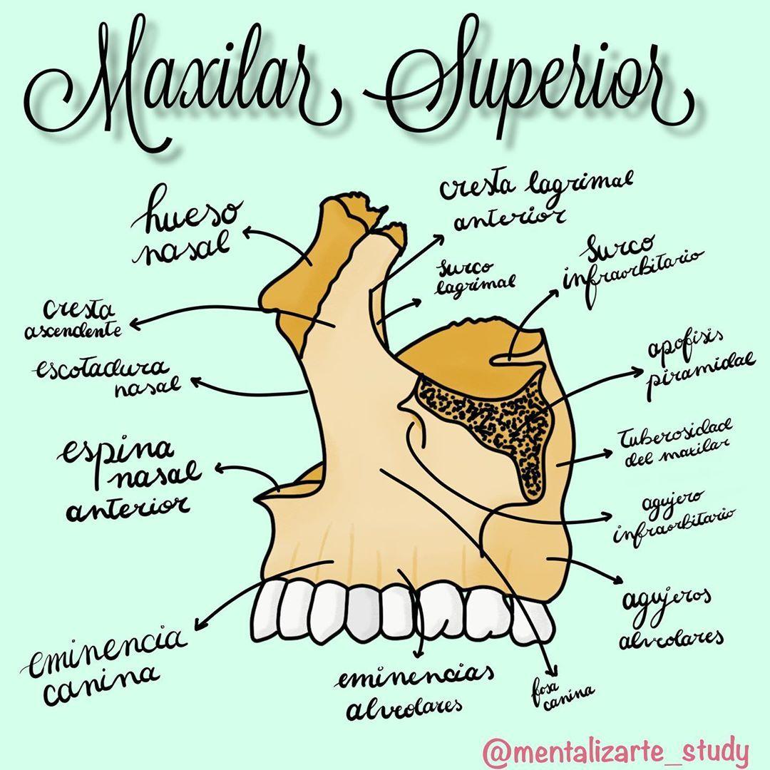 Hoy Anatomia Del Maxilar Superior Anatomia Maxilarsuperior Odonto Apuntesbonitos Apuntes Anatomia Dental Anatomia Anatomia Y Fisiologia Humana
