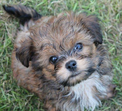 Bolonka Zwetna Purebred Dogs Puppies Teddy Bear Puppies