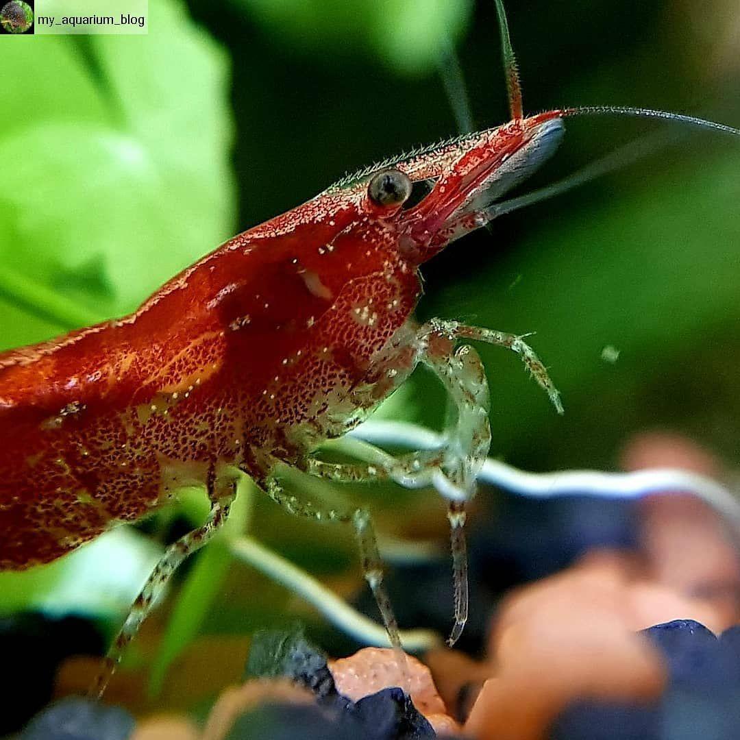Freshwater Fish Community On Instagram Repost From My Aquarium Blog Macro Of A Beautiful Red Fire Shrimp Aquariu