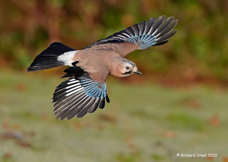 Eurasian Jay By Richard Steele On 500px Jay Bird Blue Jay Feather Blue Jay