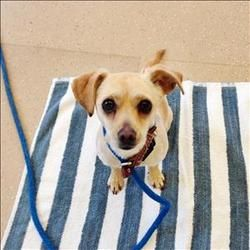 Lonnie: Chihuahua available for adoption at the Sonoma Humane Society.