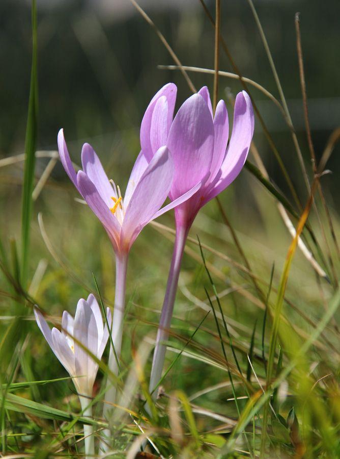 Fiore del parco nazionale delle dolomiti bellunesi II by Arturo PAIANO, via 500px    #nature  #flowers #belluno