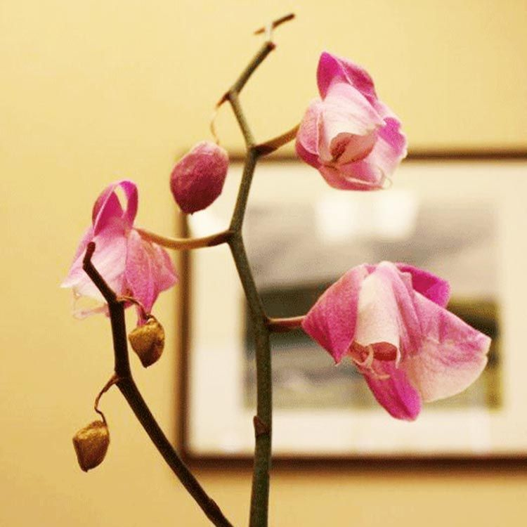 What To Do When Orchid Blooms Wilt And Fall Orchid Leaves Orchid Care Orchids