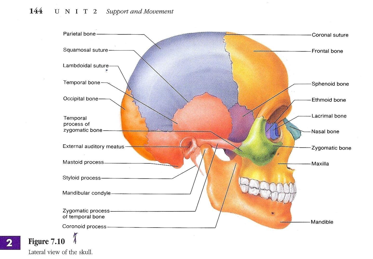 skull bone diagram labeled 15 17 sg dbd de \u2022