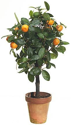 Growing Citrus Trees In Pots Ehow Potted Trees Citrus Trees Kumquat Tree