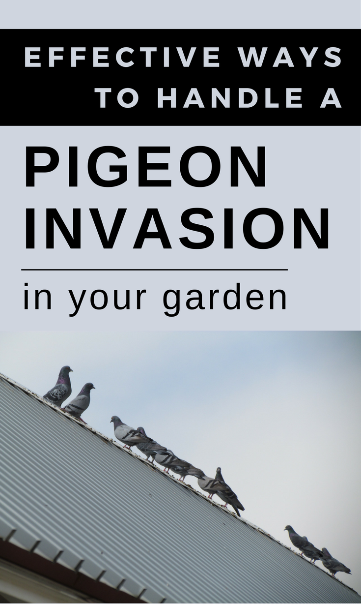 Effective Ways To Handle A Pigeon Invasion In Your Garden Getgardentips Com Get Rid Of Pigeons Pest Control Human Environment