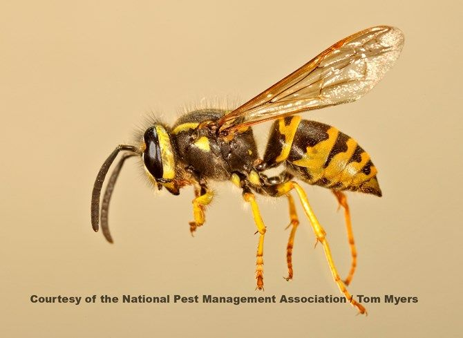 Yellowjacket Stinging Insects 101 Insects Bee Yellow Jacket