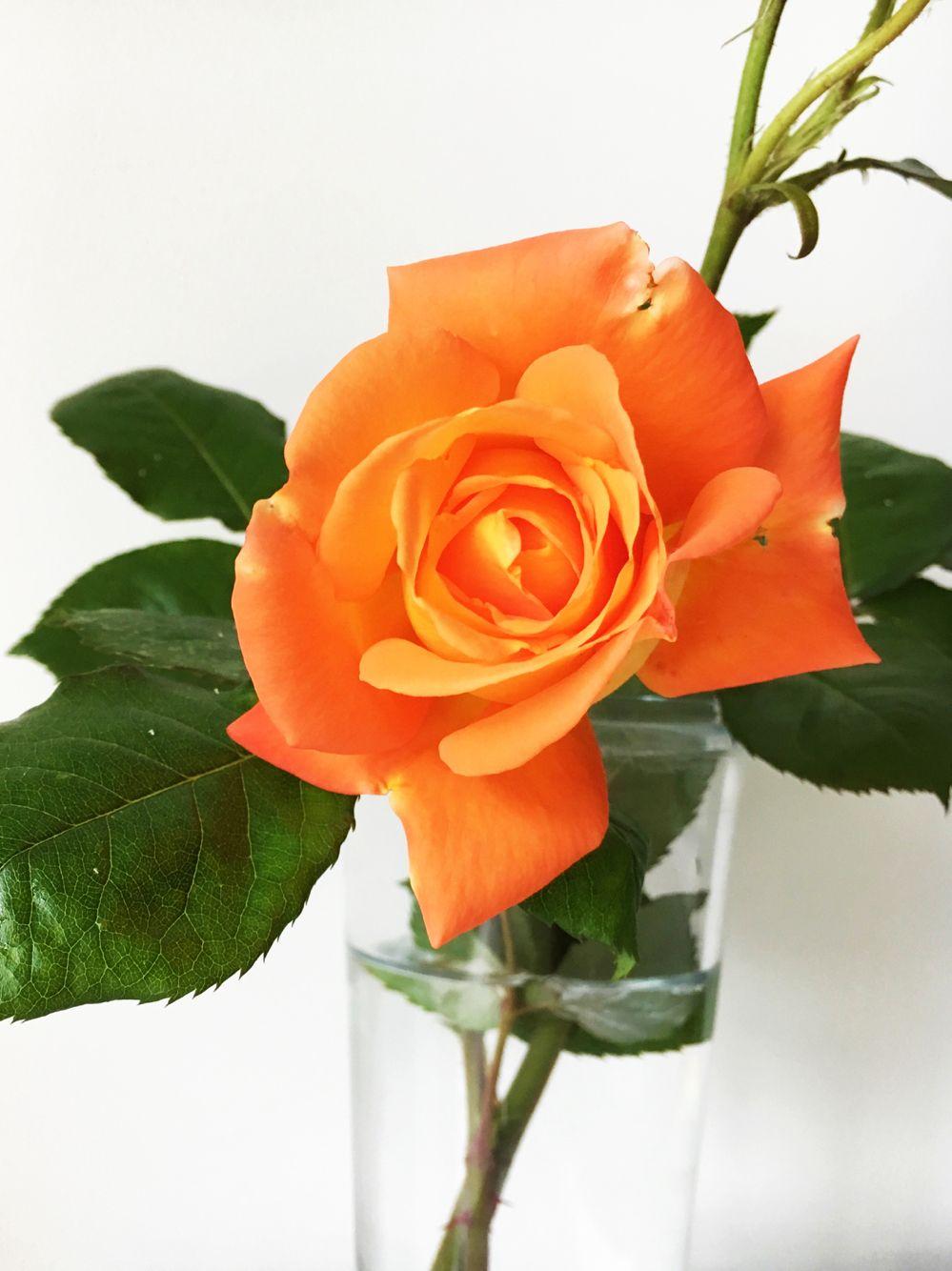 Chinese rose for orange
