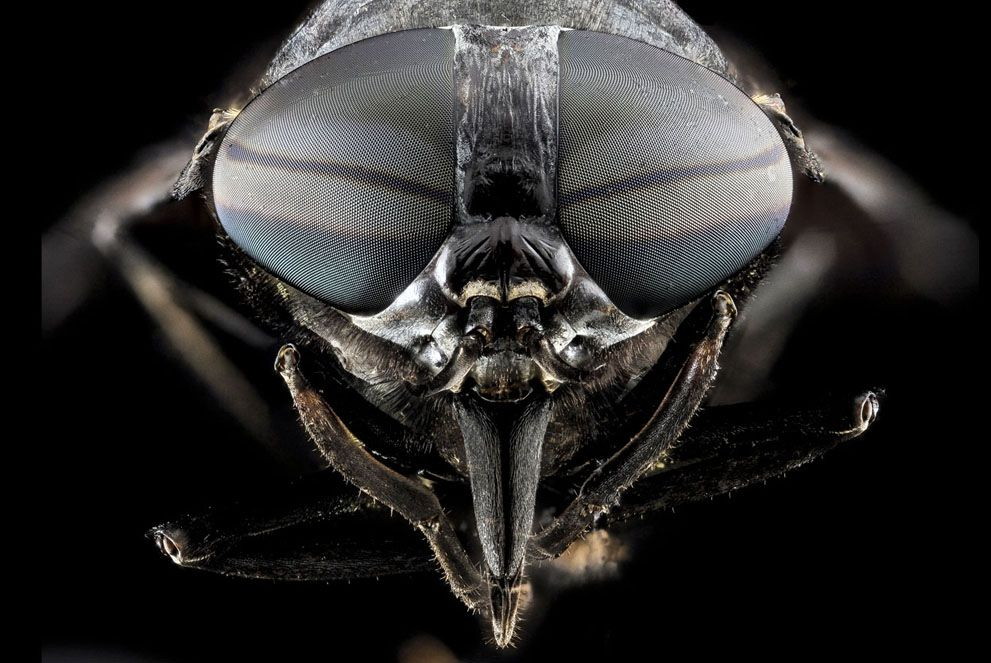 Tabanus atratus, Black Horse Fly, found in Upper Marlboro, Maryland. (CC BY USGS/Sam Droege) #