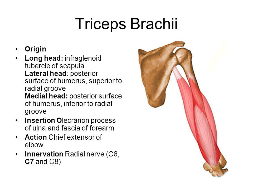 triceps brachii origin and insertion - google search | muscle, Sphenoid