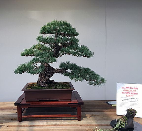 Sumo Bonsai Supply Sumo Bonsai Supply Bonsai Pine Bonsai Bonsai Tree