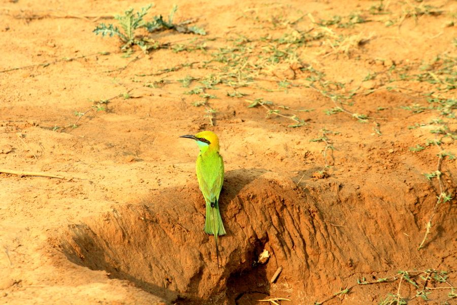 Bee eater bird burrowing for shelter and insects