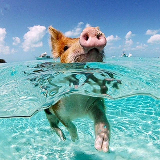 """One For The Bucket List: Swimming With The Bahamas Pigs"