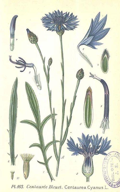 le bleuet des champs centaurea cyanus affiches botanical drawings botanical flowers et. Black Bedroom Furniture Sets. Home Design Ideas