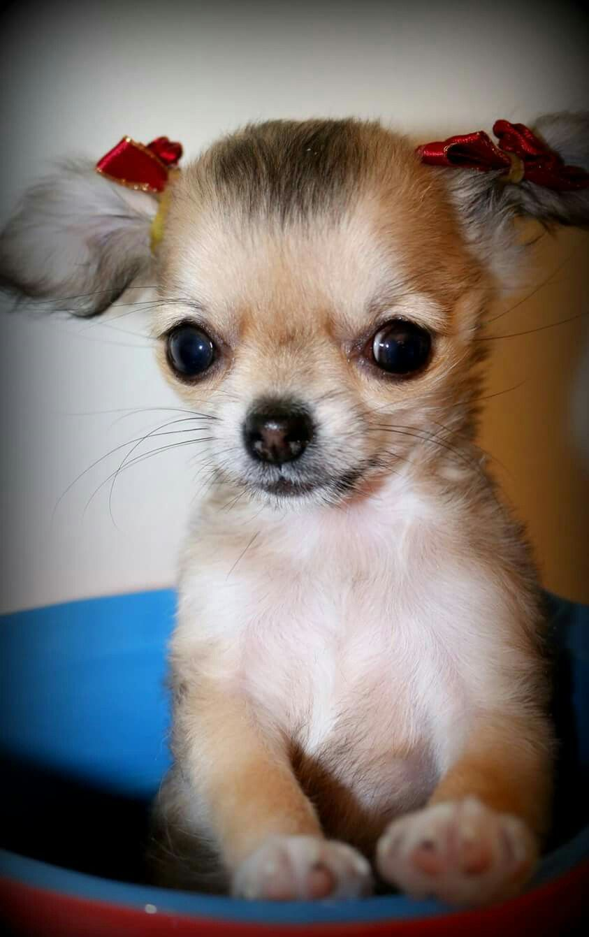 Pin By Hilde On Dogs Cute Baby Animals Cute Chihuahua Cute Dogs
