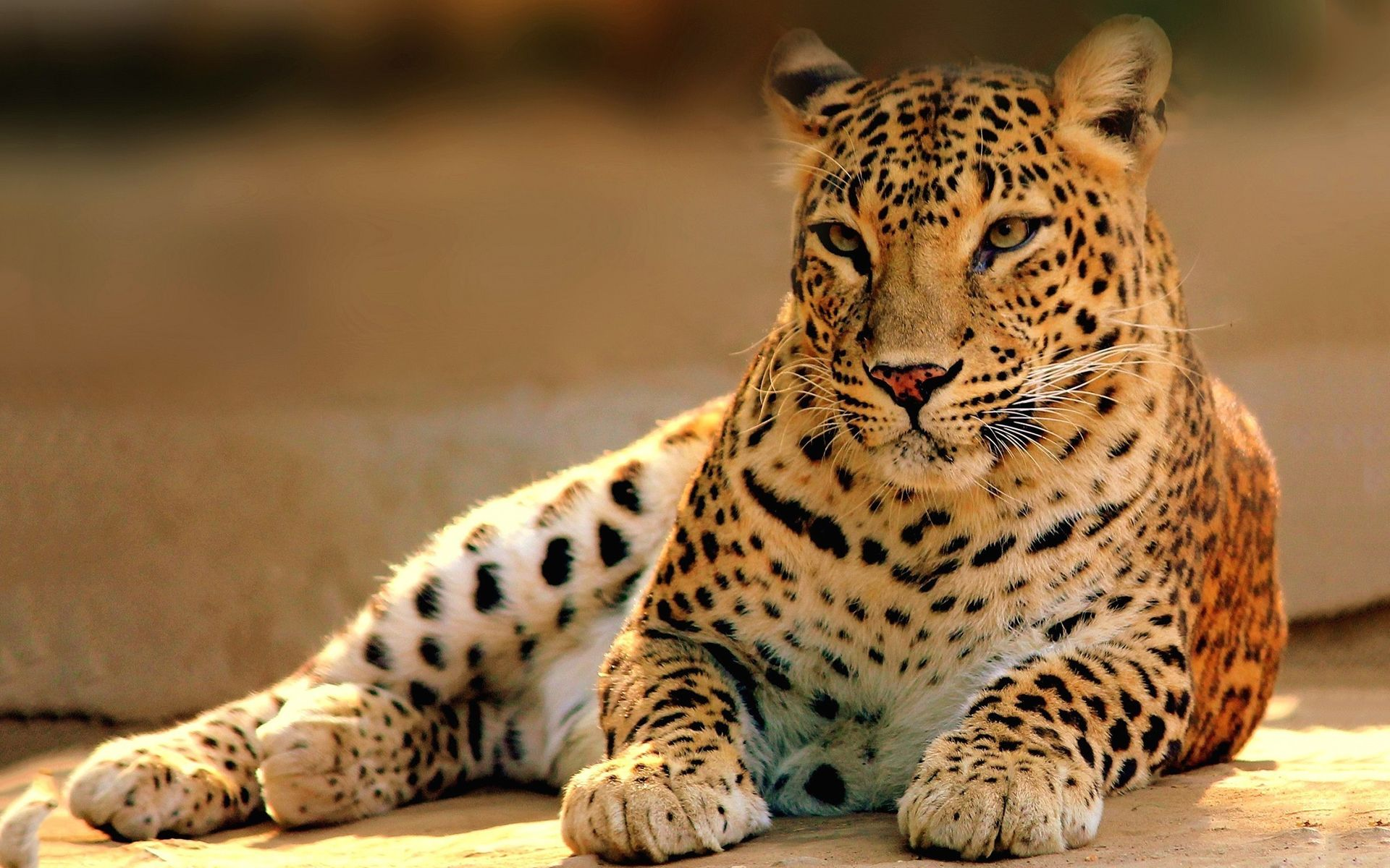 Ultra HD leopard wildlife Animals images, Leopard