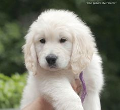 Golden Retriever Puppieslightcreamwhitenjmactdericaaztx