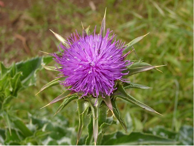 Scottish thistle Scottish flowers, Scottish, Scotland