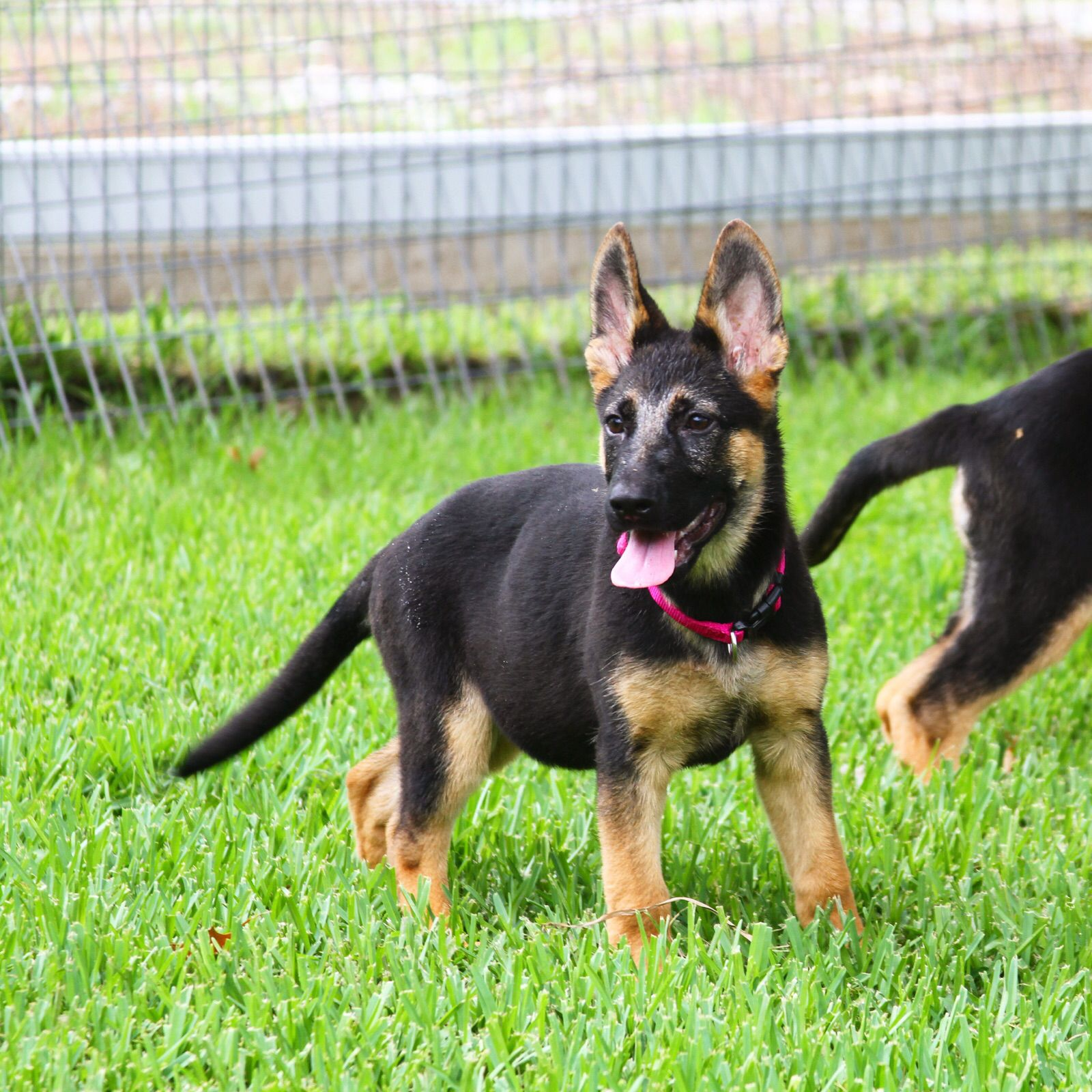 German Shepherds Dogs K9 Homeprotection Puppies Yorkie