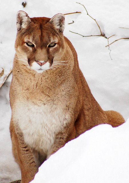 Cougar by Anna MariaP on Flickr.