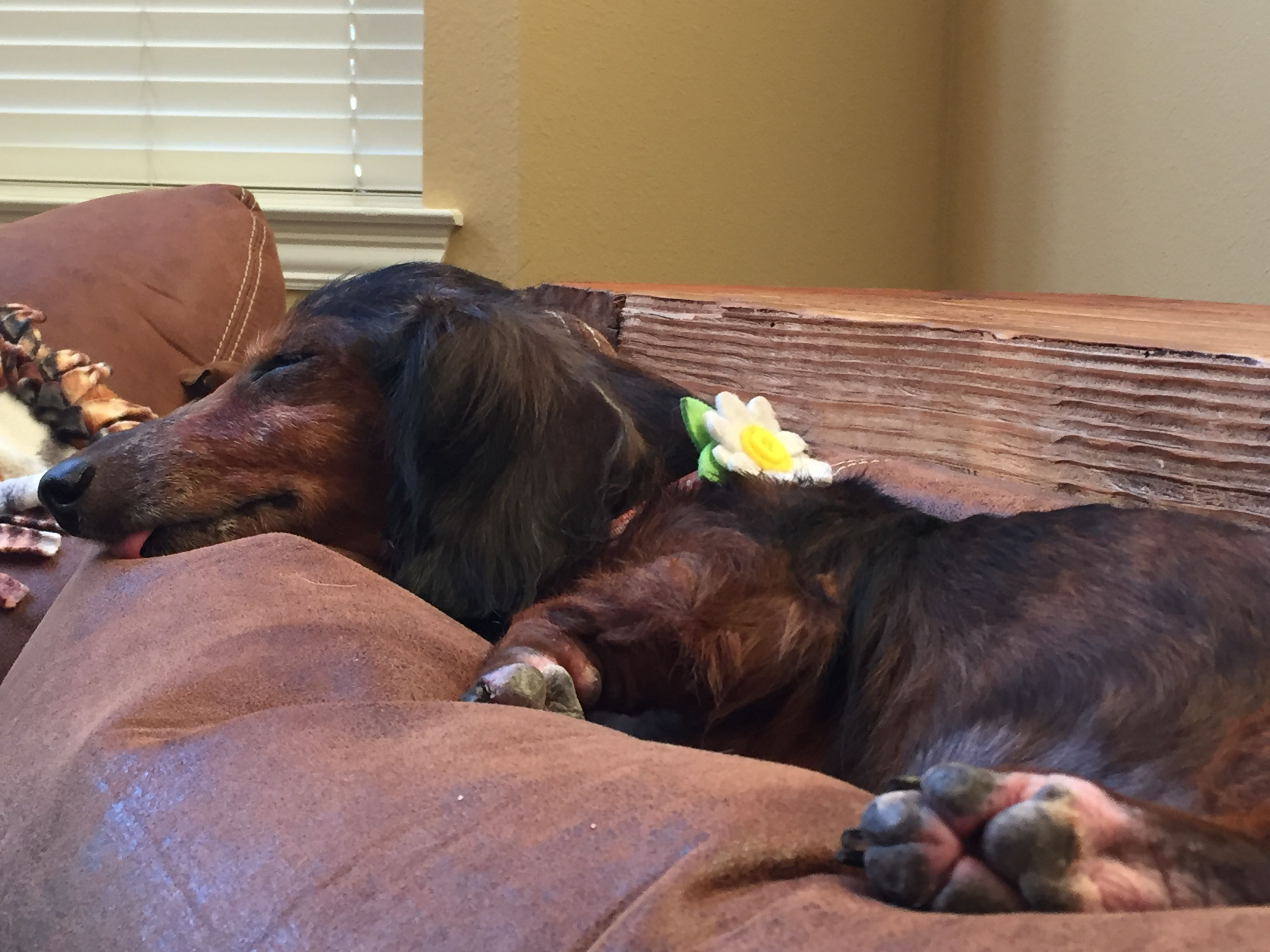 Dachshund dog for adoption in mckinney tx adn645329 on