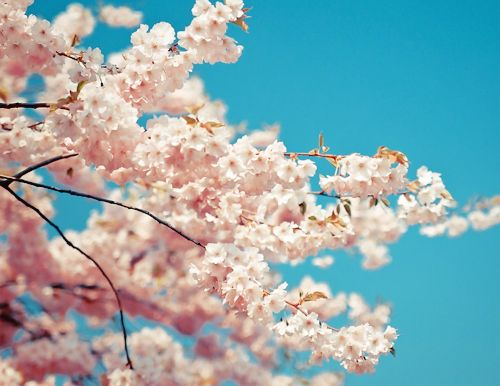 Cherry Blossoms Never Get Old Cherry Blossom Blossom Mother Nature