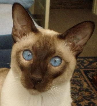 Art And Photos Of The Siamese Cat Siamese Orientals Cats Cats And Kittens Oriental Cat Siamese Cats
