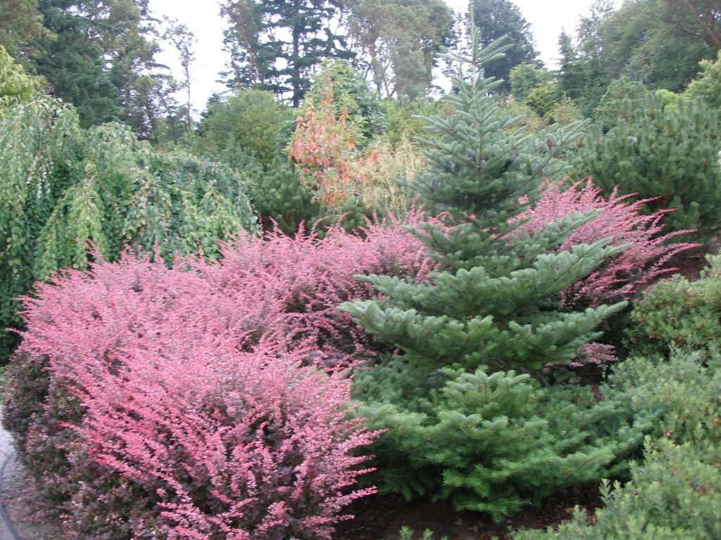 Rose Glow Barberry Shrubs Long blooming perennials, Fast
