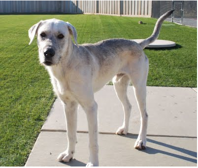 Irish Wolfhound And Yellow Lab Mix