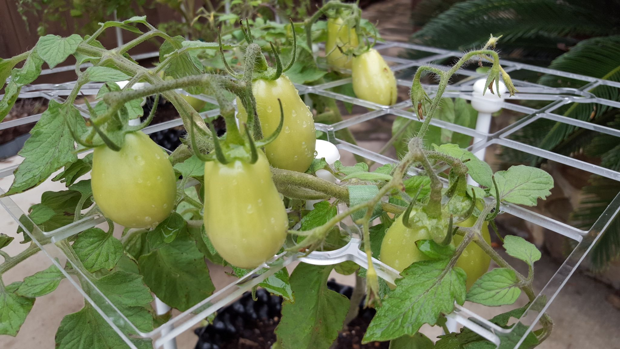 Plants · Roma tomato ScrOG & Roma tomato ScrOG | ScrOG - Max Yield Made Simple for cannabis and ...