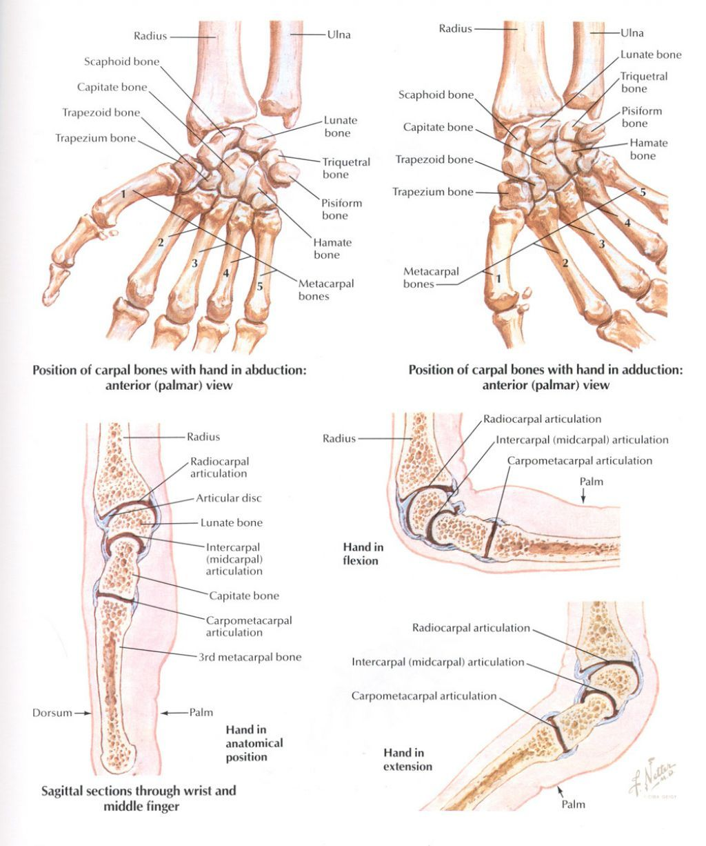 Hand and Wrist Bones Anatomy | Hand studies | Pinterest | Anatomy ...
