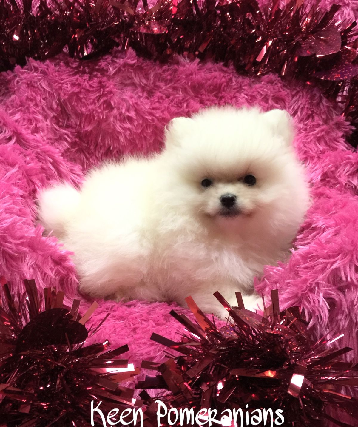 This Is What A True White Pomeranian Looks Like Don T Fall For Those So Called Teacup Scams A Real Pom Will Always Look Pomeranian White Pomeranian Puppies